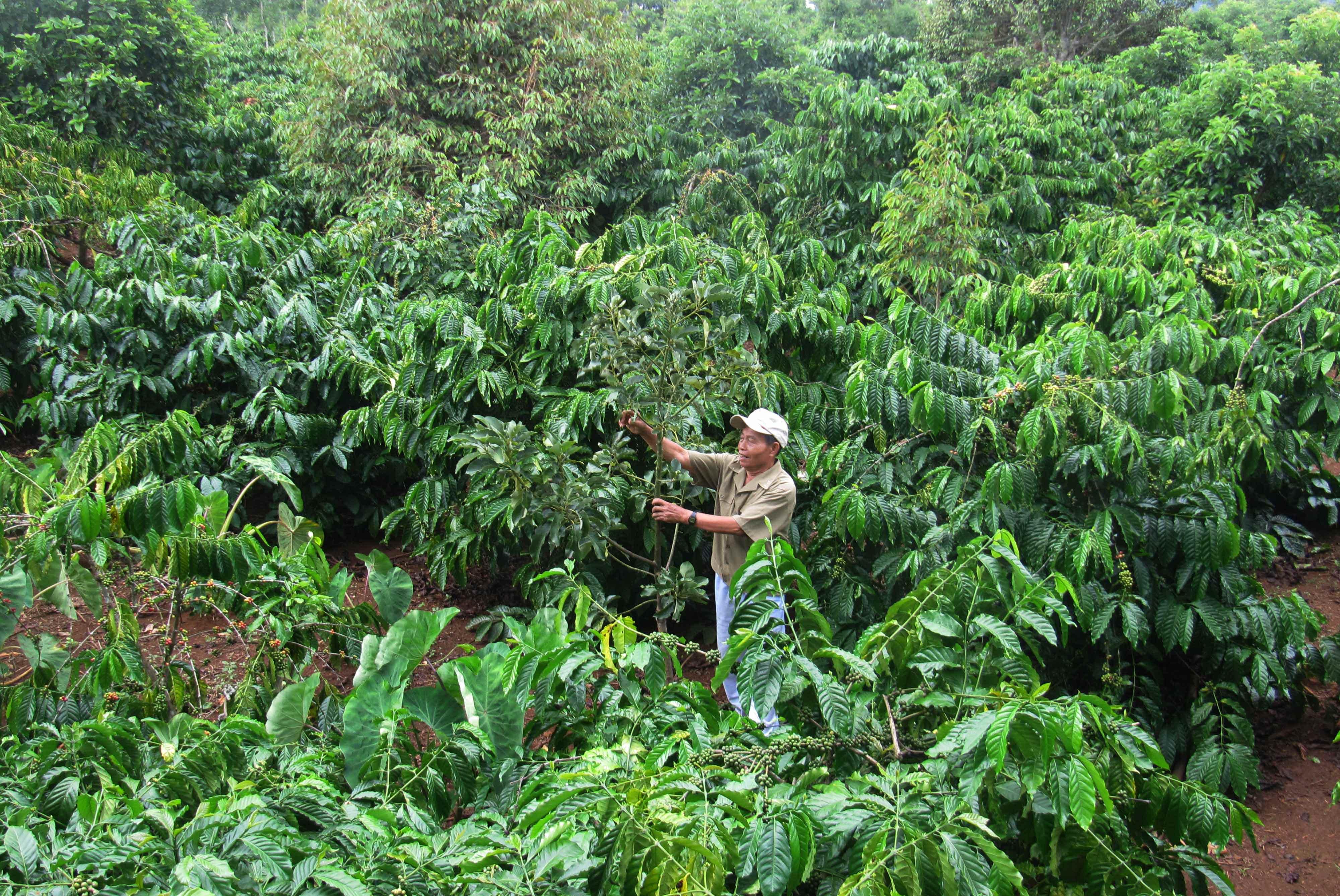 Gặp lại những người lính trồng ca phê trên Tây Nguyên